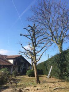 Élagage d'un arbre à Bayonne