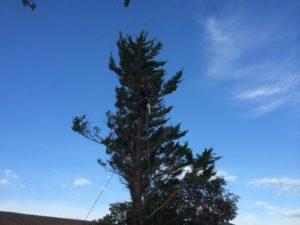 Élagage d'un pin près de Saint Jean de Luz
