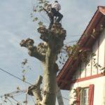 Taille d'un platane près d'Arcangues (2)