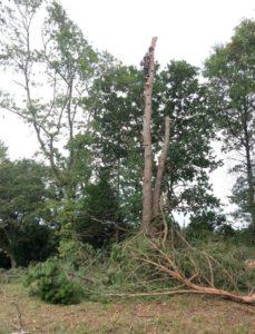 Démontage de l'arbre avec notre arboriste grimpeur