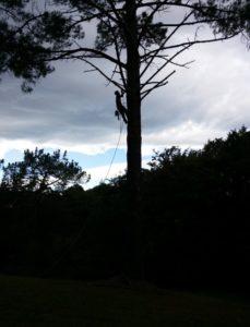 L'élagueur grimpeur en train d'ébrancher l'arbre (2)