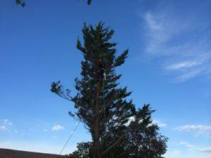 Élagage d'un arbre du côté de Bayonne